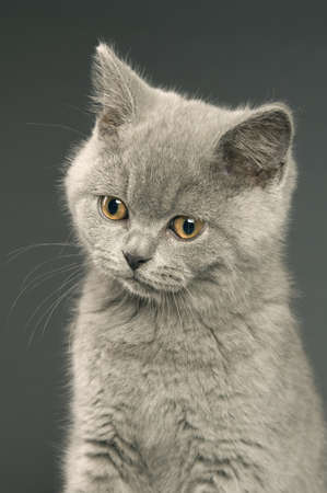 British short haired grey cat isolated on a grey background photo