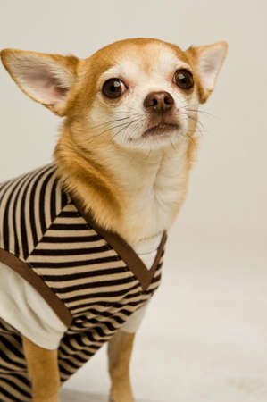 Chihuahua on a plain background wearing a striped t-shirt