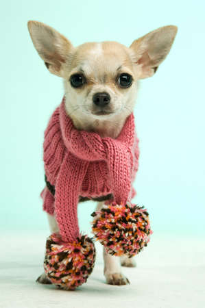 Chihuahua in a pink wooley scarf on a blue green background