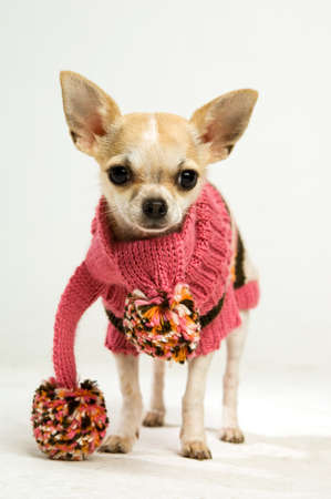 Chihuahua in a pink wooley scarf on a plain background