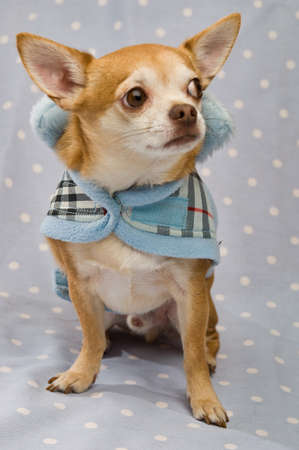 Chihuahua on a blue spotty background wearing a blue coat Stock Photo