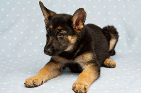 German Shepherd Puppy laying down isolated on a blue background