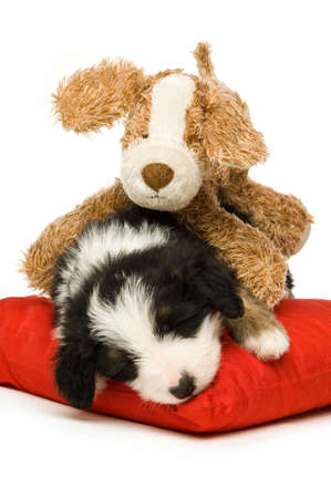 Border Collie Puppy sleeping on a red cushion with a teddy isolated on a white background photo