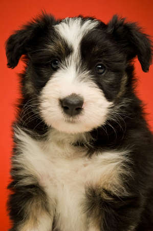 Border Collie Puppy isolated on a red background photo