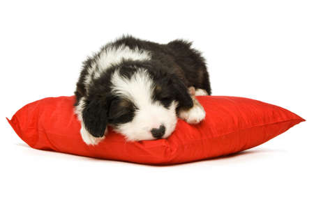 Border Collie Puppy asleep on a red cushion isolated on a white background