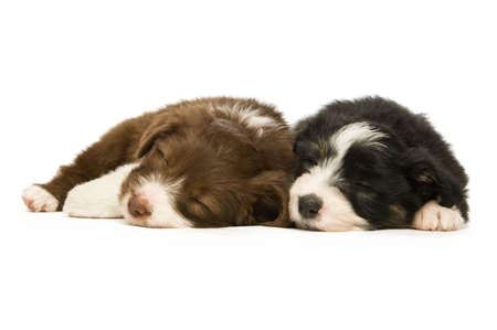 Border Collie Puppies sleeping isolated on a white background photo