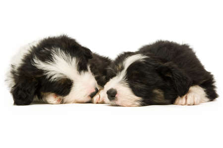 Border Collie Puppies sleeping isolated on a white background Stock Photo