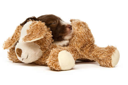 Border Collie Puppy sleeping on a teddy isolated on a purple background Stock Photo