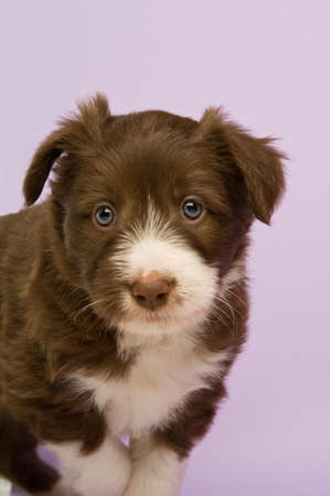 Border Collie Puppy isolated on a purple background photo