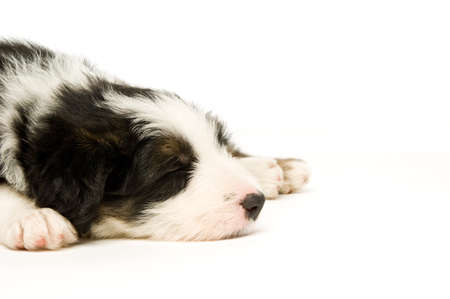 Border Collie Puppy sleeping isolated on a white background Stock Photo