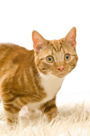 Ginger cat isolated on a white background Stock Photo - 14469105