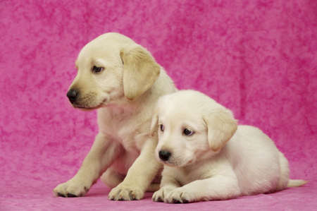 Golden Labrador Puppies on a pink background Stock Photo