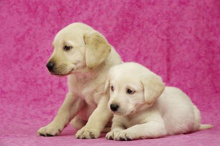Golden Labrador Puppies on a pink background Standard-Bild