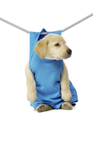 Golden Labrador Puppy hanging on a washing line, isolated on a white background