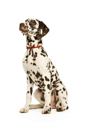 Dalmatian Puppy isolated on a white background photo