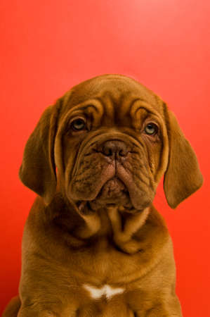 Dogue De Bordeaux puppy on a red background photo
