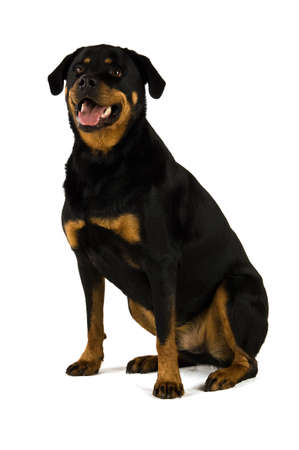 Rottweiler Hund isoliert auf einem wei�en Hintergrund sitzend
