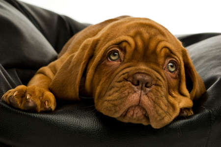Dogue De Bordeaux puppy on a black bean bag photo