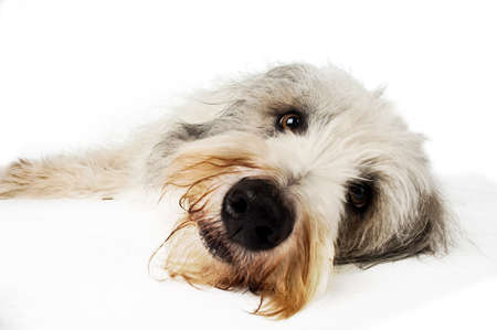 collies: Close up shot of a Bearded Collies nose isolated on a white background
