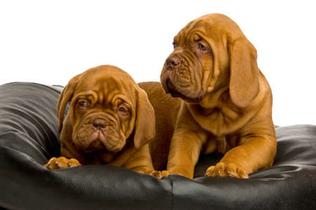Dogue De Bordeaux puppies on a black bean bag photo