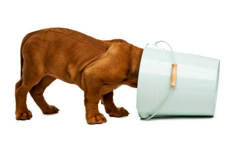 Dogue De Bordeaux puppy with its head in a blue bucket isolated on a white background