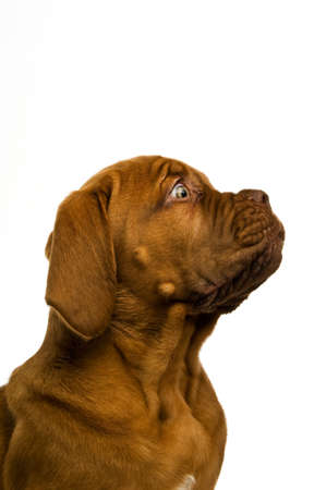 Dogue De Bordeaux puppy isolated on a white background photo