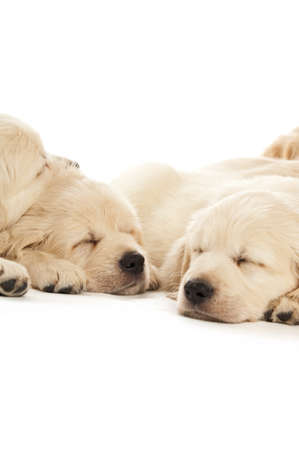 Golden retriever puppies isolated on a white background photo