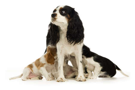 animals feeding: King Charles Spaniel dog and puppies isolated on a white background