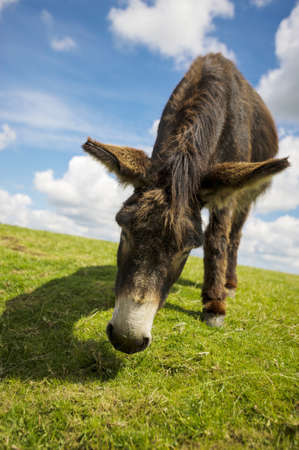 Norfolk Broads, Donkey grazing on grass in the summer time Stock Photo - 16875478