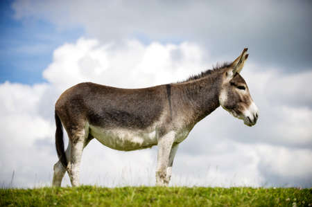 Norfolk Broads, Donkey standing on grass, profile view photo