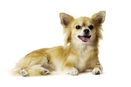 Sand Coloured, Sentimental Lang Haar Chihuahua unten keuchend auf einem wei�en Hintergrund