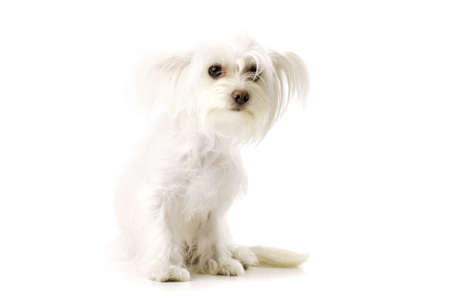 long haired chihuahua: White Long Haired Chihuahua Cross Sat Isolated on a White Background Looking at the Camera