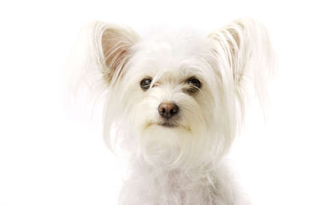 long haired chihuahua: White Long Haired Chihuahua Cross Isolated on a White Background Looking at the Camera Stock Photo