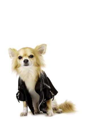 long haired chihuahua: Long Haired Chihuahua Sat Wearing a Black Leather Jacket Isolated on a White Background