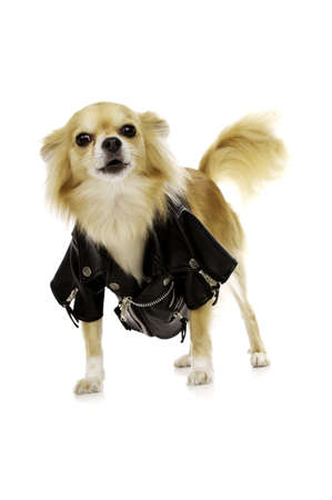 long haired chihuahua: Long Haired, Sand Coloured Chihuahua Wearing a Black Leather Jacket Isolated on a White Background