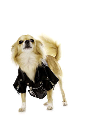 long haired chihuahua: Sand Coloured, Long Haired Chihuahua Wearing a Black Leather Jacket, Standing Isolated on a White Background Stock Photo