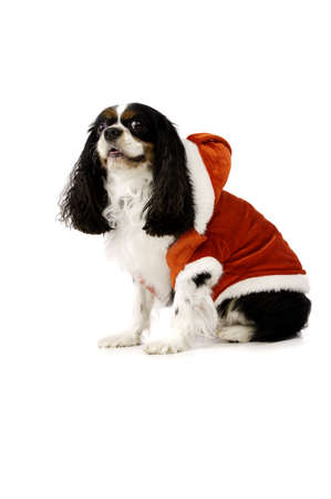 King Charles Spaniel Dog Wearing a Red Christmas Santa Hat photo