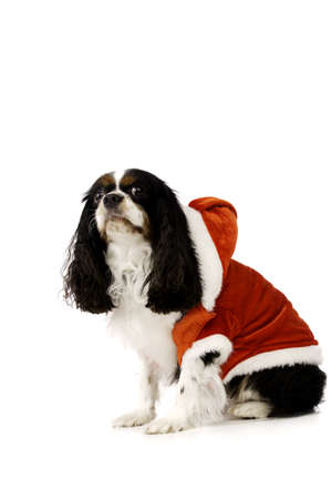 King Charles Spaniel Dog Wearing a Red Christmas Santa Outfit photo