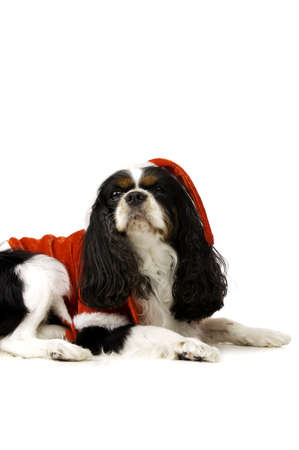 King Charles Spaniel Dog Wearing a Red Christmas Santa Hat