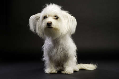 long haired chihuahua: White Long Haired Chihuahua Cross Sat on a Black Background Looking at the Camera Stock Photo