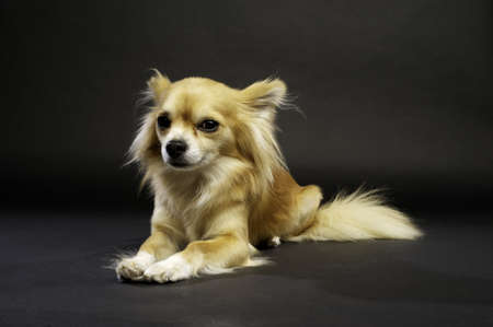 long haired chihuahua: Long Haired Chihuahua Laid Down on a Black Background Looking at the Camera Stock Photo