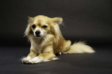 Sand Coloured, langhaarige Chihuahua Laid schaut in die Kamera auf einem schwarzen Hintergrund