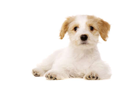 Bichon Frise cross puppy laid looking at the camera isolated on a white background Stock Photo