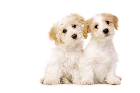 Two playful Bichon Frise cross puppies sat together with their heads tilted isolated on a white background