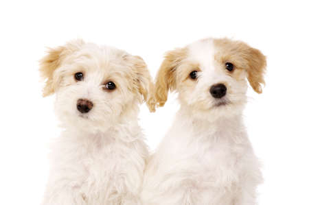 Two playful Bichon Frise cross puppies sat together isolated on a white background photo