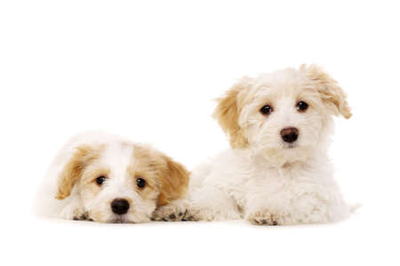 Two sleepy Bichon Frise cross puppies laid isolated on a white background