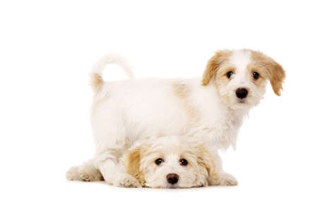 Two Bichon Frise cross puppies isolated on a white background photo