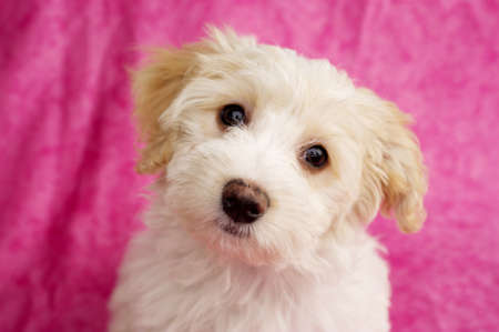 Bichon Frise cross puppy sat up on a pink mottled background