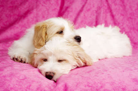 Two sleepy Bichon Frise cross puppies laid on a pink mottled background