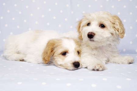 Two sleepy Bichon Frise cross puppies laid on a baby blue spotted background photo